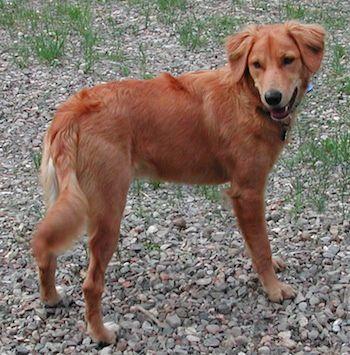 Golden Collie (Border Collie X Golden Retriever Mix), Temperament, Training, Puppies, Pictures