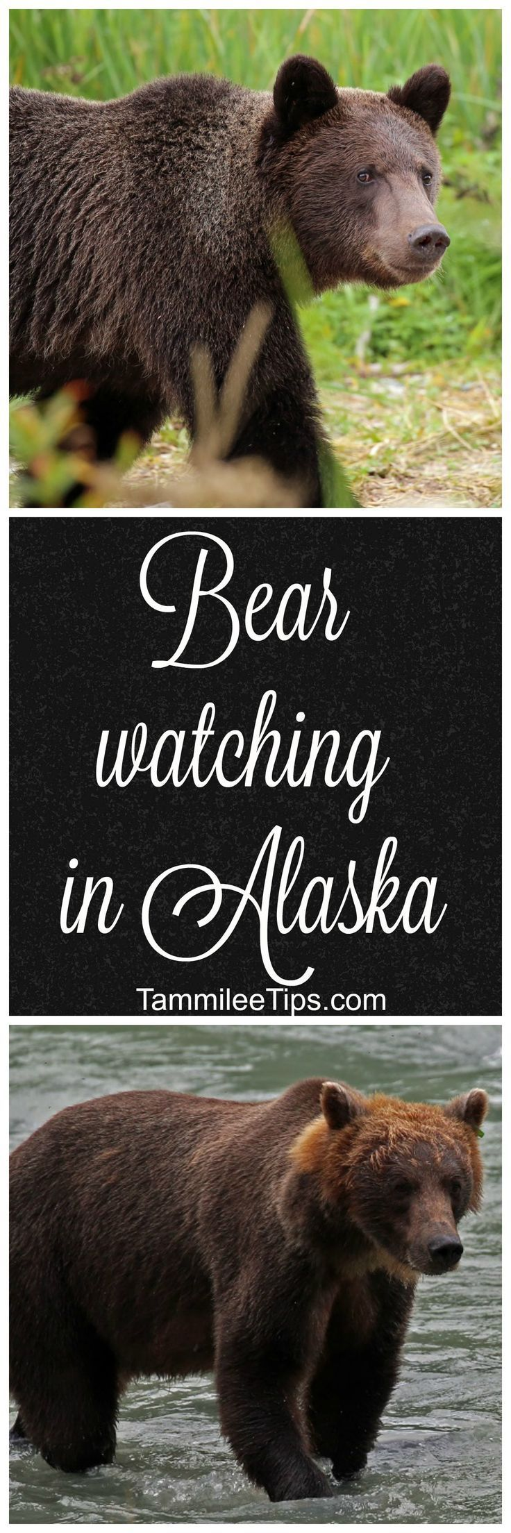 See Grizzly Bears on the Wildlife Expedition in Skagway on an Alaska Cruise via /tammileetips/