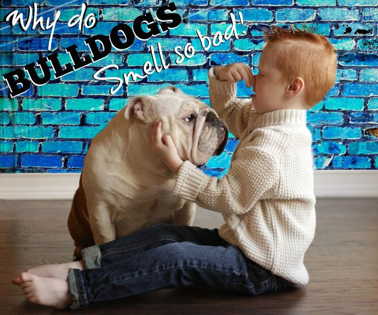 Does Your English Bulldog Puppy Have Bad Breath?