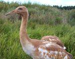 Whooping Crane at Neceda National Wildlife Refuge, WI