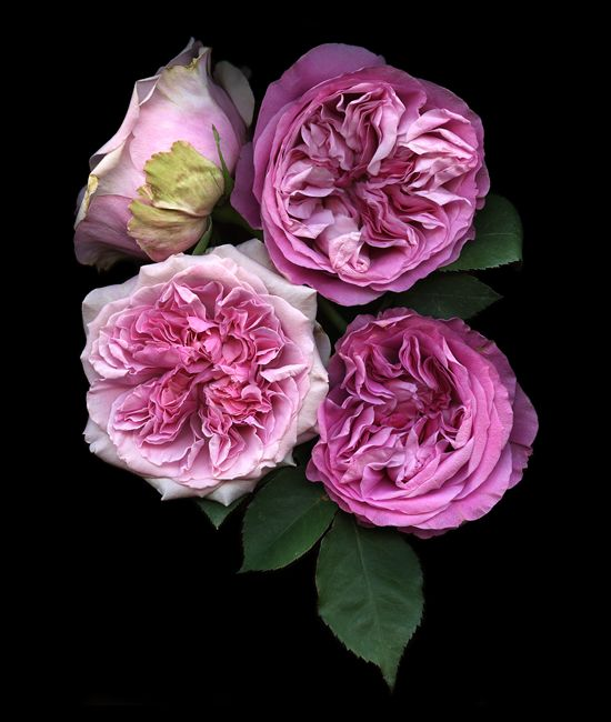 David Austin roses.