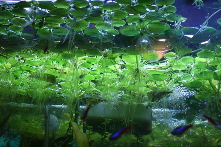 109 best amazon fish tank images on pinterest fish for Recommended pond plants
