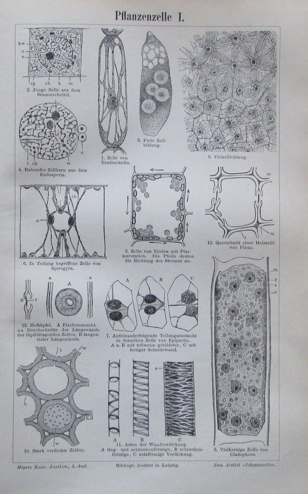 PFLANZENZELLE I. II. 1896 Original Alter Druck Antique Print Lithographie