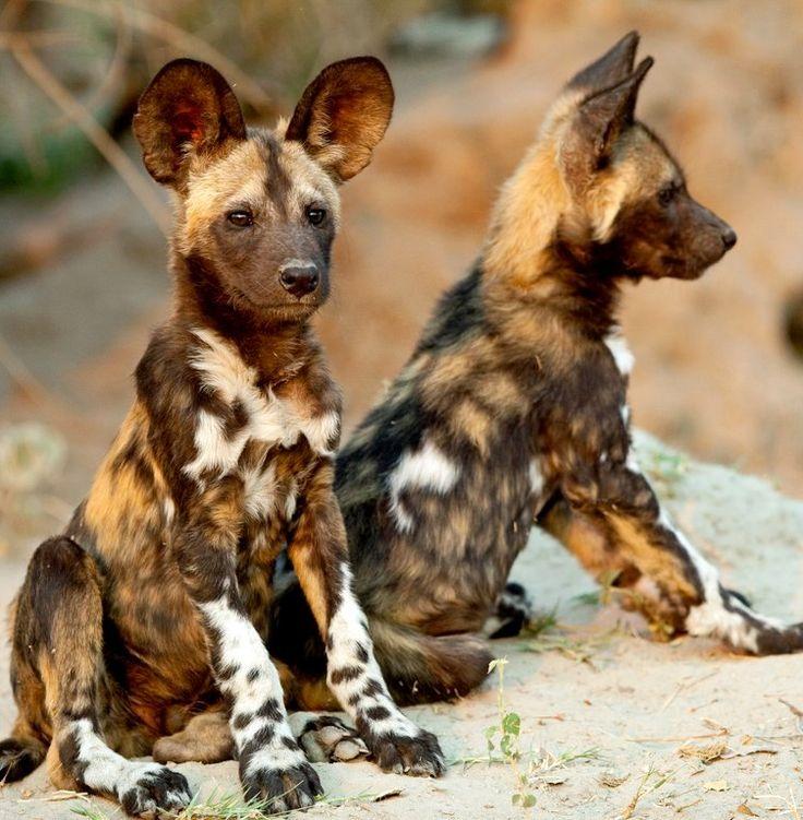 African wild dogs..but still cute!