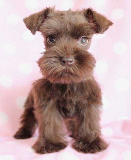 Mini Schnauzer puppy. Love the beard! Is it brown. I've never seen a brown miniature schnauzer before.