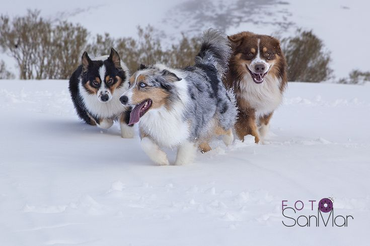 Pastores Australianos en la nieve