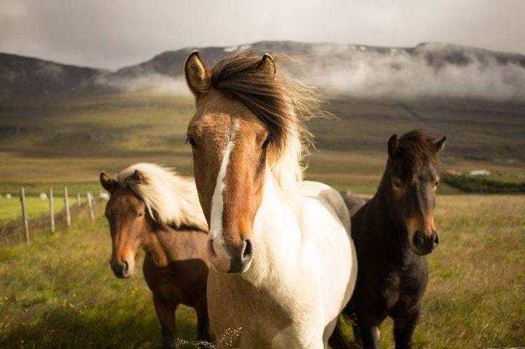 Hukum Makan Sate Kuda menurut Islam, Haram kah? #kuda #sate #kuliner #makanan #islam #fikih