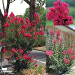 Indian Summer (R) Lagerstroemia (Crepe Myrtle) - Adaptable to a range of conditions, heat and some dryness but requires adequate moisture during establishment. Bred for resistance to powdery mildew.