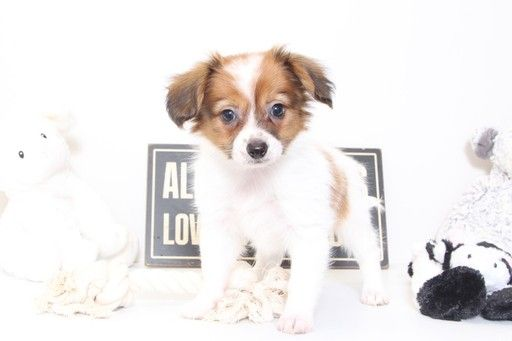 Papillon puppy for sale in NAPLES, FL. ADN-33781 on PuppyFinder.com Gender: Male. Age: 8 Weeks Old