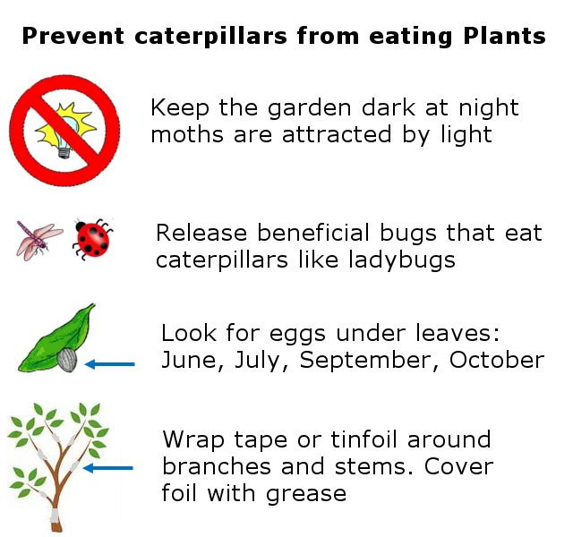 how to stop caterpillars eating vegetables