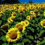 50 Manfaat Bunga Matahari Bagi Kesehatan