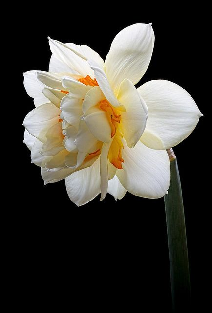 Double Delight Daffodil