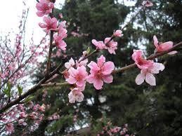 """Képtalálat a következőre: """"virágzó meggyfa"""""""