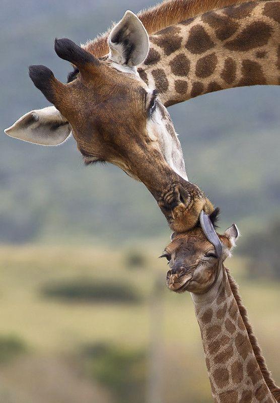 Картинка прикольного жирафика, телефон 480х800 иконы