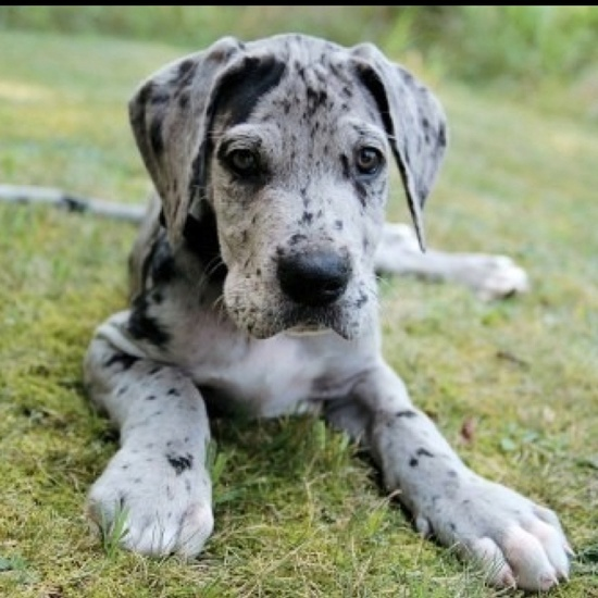 spotted grey & black pup ( #greatdane #dogs ) ✌eace | H U M A N™ | нυмanACOUSTICS™ | н2TV™