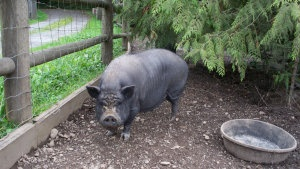 Pineapple is an adoptable Pot Bellied Pot Bellied Pig in Quilcene, WA.  ...