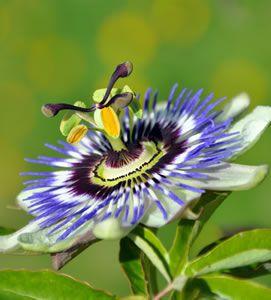 Blaue Passionsblume                                                                                                                                                                                 Mehr