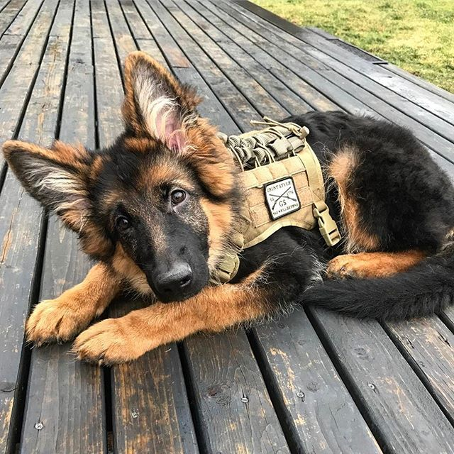Fantastic German Shepherds Army Adorable Dog - d74f1e8dc126c5d0739b96c04583ecd5--airsoft-major-league  Graphic_721897  .jpg