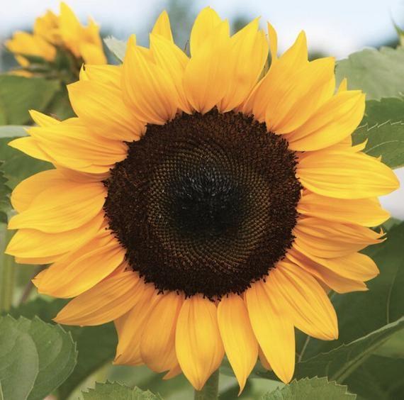 Pin On Sunflower