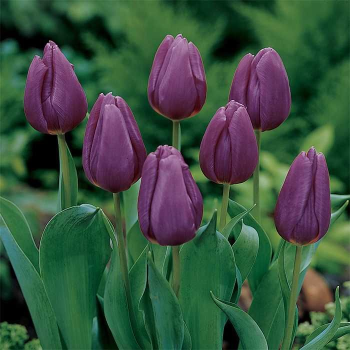 Purple Prince Single Early Tulip