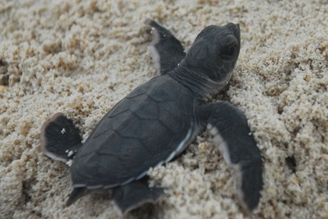 Image: A.G. Saño/ Conservation International    Record turtle nesting inspires hope    Ongoing conservation efforts on Philippine beaches have resulted in a 28-year high of 1.4 million green turtle eggs.    Conservation International (CI) announced the number of eggs laid last year on protected Baguan Island is at an all-time high since recording of nesting started in 1984.