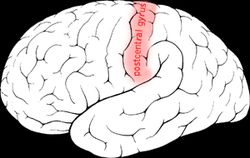 POSTCENTRAL GYRUS is part of parietal lobe. Primary somatosensorty cortex is located here; responsible for the SENSE OF TOUCH.