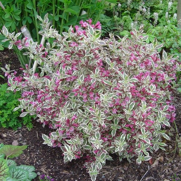 80 best images about weigela on pinterest french lace for Pink flowering shrubs