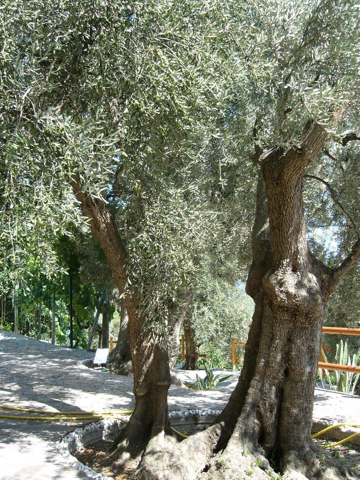 Gli ulivi in Liguria ( Olive trees)