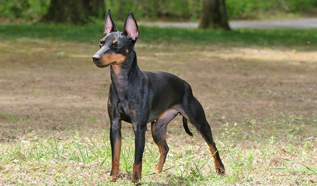 Manchester Terrier Breed Information