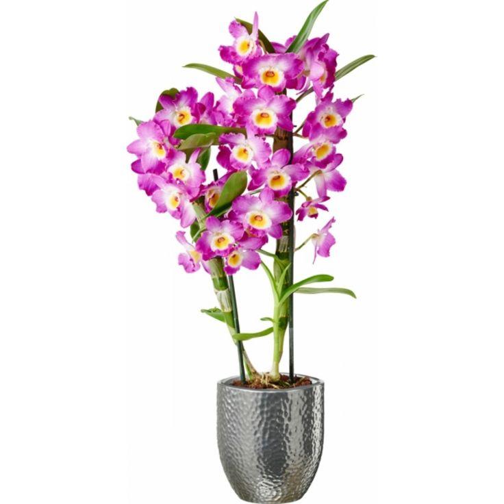 Dendrobium orchid, lilac 12 cm