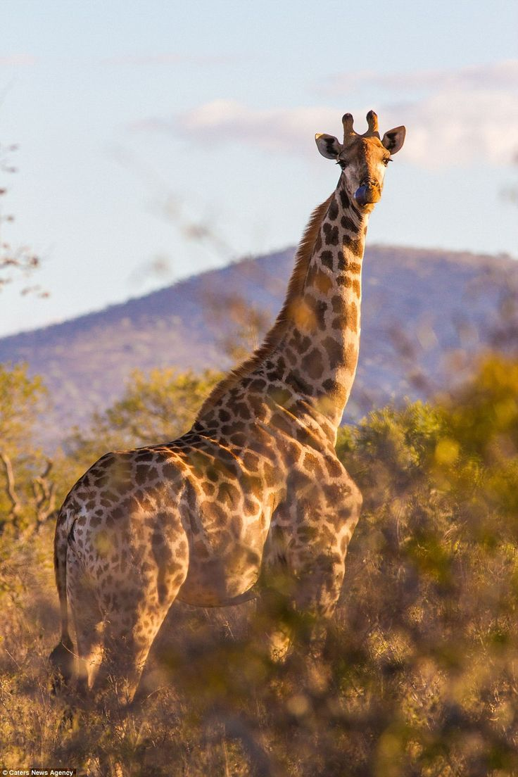 Beefy: The giraffe's oddly muscular neck was captured in all its glory in a photograph at the Pongola Game Reserve in South Africa