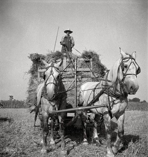 Récolte de l'avoine en Idiana (Etats Unis) en 1936, bel attelage au timon... - Hippotese, Le cheval de Travail