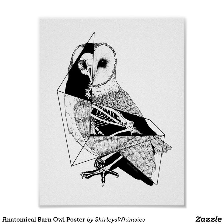 Anatomical Barn Owl Póster