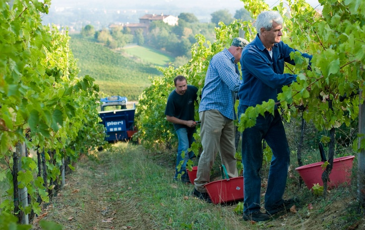 This is our #harvest #umbertocesari #wine #italy