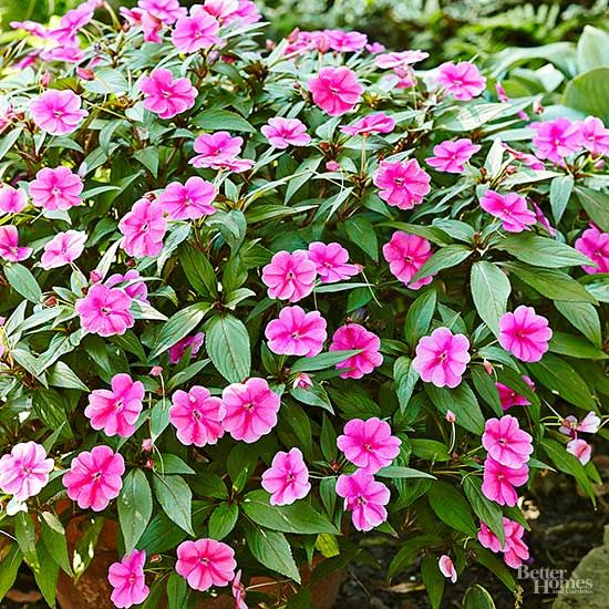 America's No. 1 go-to flower for shady locations, impatiens will transform any dark corner into a flower festival. In fact, many gardeners use impatiens as a quick-growing summer groundcover for hard-to-plant locations under tall trees. Growing 12-18 inches tall, impatiens bloom in white, pink, peach, yellow, orange, lavender, and bicolors. Both single- and double-flowering varieties are available. Impatiens grow well in containers, too. Just keep them out of direct sunlight and keep the…