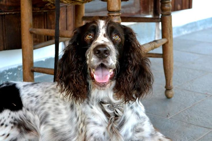 Freddy... English Springer Spaniel... the sweetest and smartest dog... <3