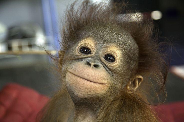 Avec les orang-outans orphelins de Borneo