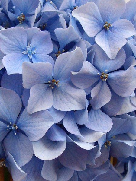 Blue hidrangea