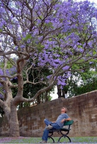 Deze paarse bomen zie je over heel Sydney als je a.. » Sydney tot nu toe » Australië » Fotoseries