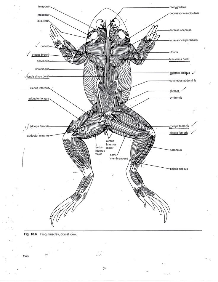 Frog Muscle Anatomy Muscular System Of The Frog Human Anatomy Diagram Muscular System Muscle Anatomy Human Anatomy Drawing
