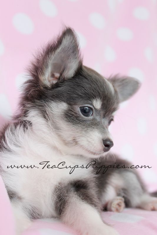 long haired chihuahua by teacupspuppies.com