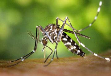 Health Dept. reports the Asian Tiger mosquito has been found throughout Pittsburgh's Lawrenceville neighborhood. It aggressively bites from dawn to dusk & can transmit West Nile virus & other diseases to humans & domestic animals. Residents should keep gutters clean, dump stagnant water, rid yards of all items that can hold water, close windows & doors, and limit time outside. More info & tips at http://j.mp/TigerMosq