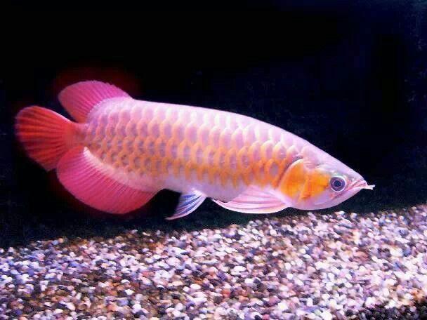Arowana fish brings good luck tropical fish pinterest for Good pet fish