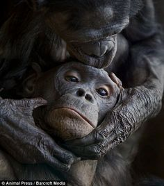 Looking out for each other: Two bonobos preen each other at Frankfurt zoo