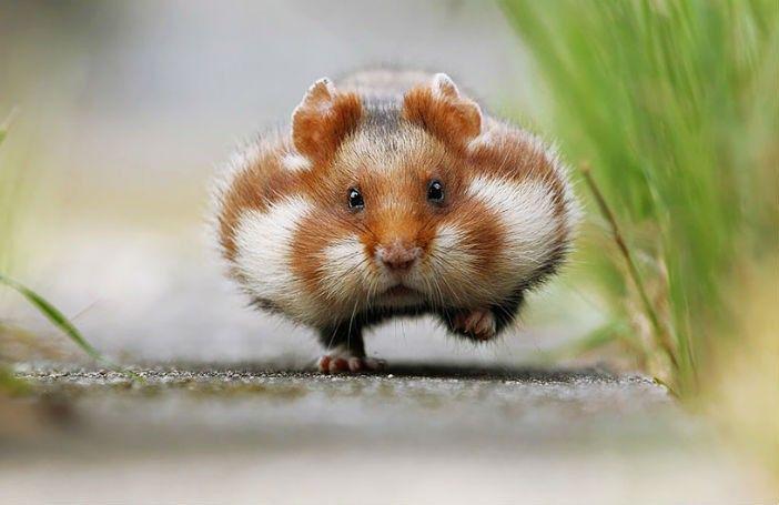 Na het zien van deze TE schattige foto's wil je een hamster als huisdier. Ja echt…