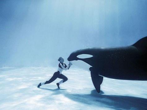meeting: Killers Whales, Buckets Lists, Dreams Job, The Killers, Orcinus Orcas, Sea Wolf, Sea World, Beautiful Creatures, Seaworld
