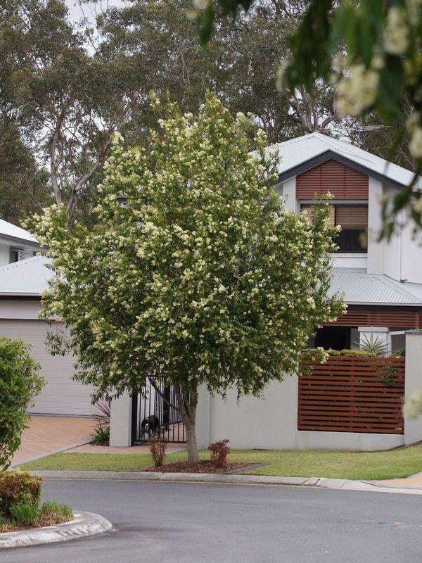 The 5 best trees for Brisbane gardens — SEED Landscape Design