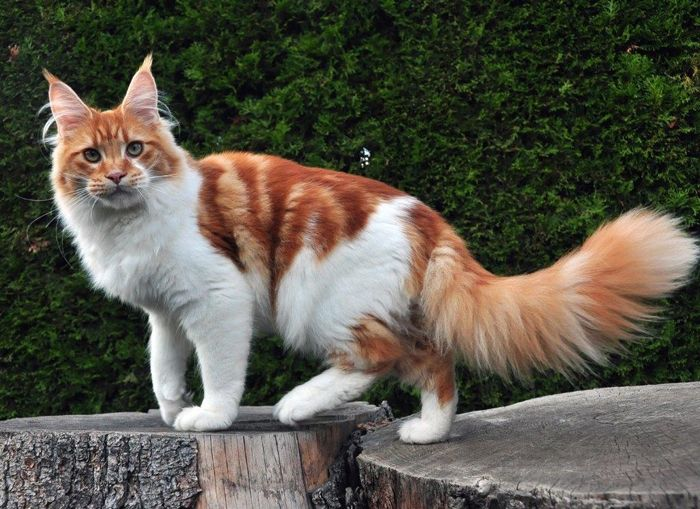 Maine Coon, Red Tabby Blotched & White (d 09 22). Kiyaras Try a little Tenderness