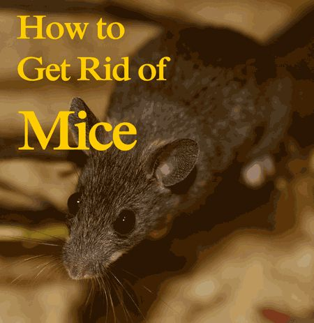 how to kill mice in your home