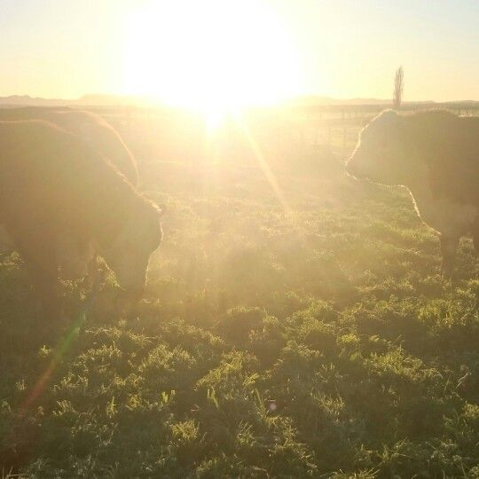 Hereford bulls ready to see the girls #bulls #cow #dairyfarm